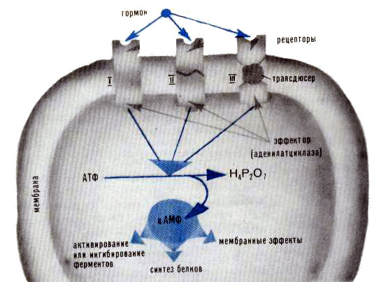 Схема действия рецептора